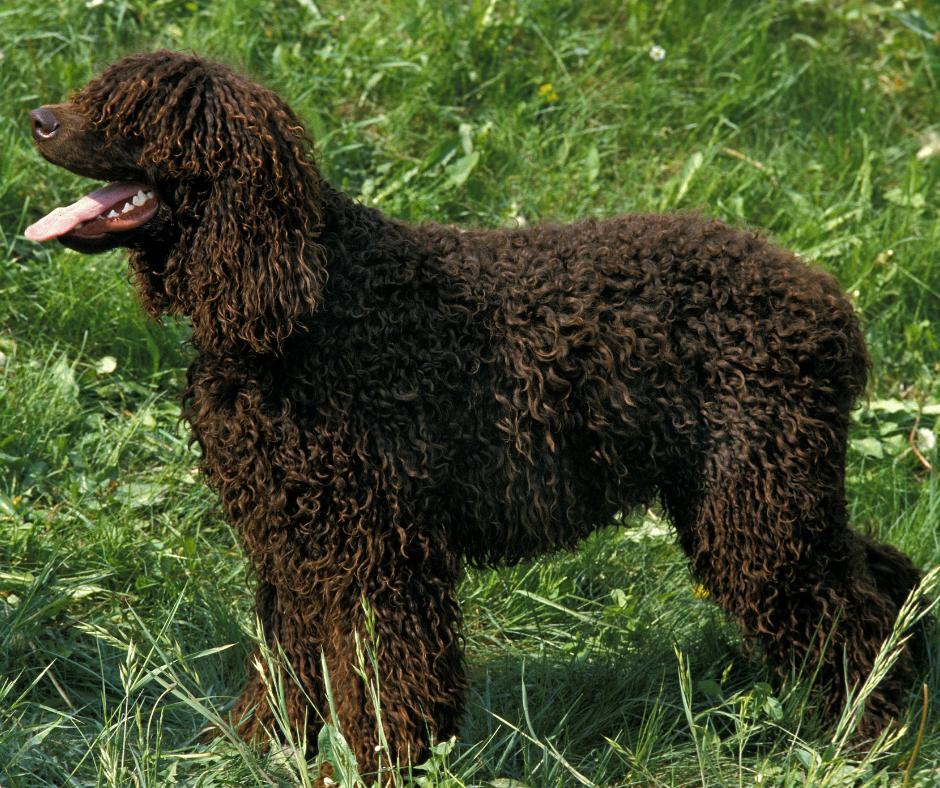 chien de chasse